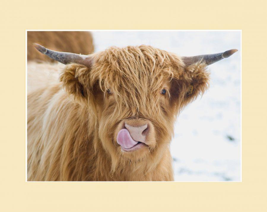 highland cow licking nose print